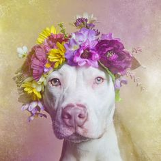 "Pixel Blue Eyes - Her ""Tails of Adventure"": The Joy of Flower Power - Beautiful Dogs for Adoption with Sophie Gamand Photography Meet Dharma. She is a gorgeous 5 month old pit bull/lwhippet mix."