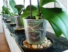 Container Gardening Phals in Pebble Trays - Here are some signs to check to know that your Phalaenopsis orchid is healthy and simple tips on how to take care of orchids. Indoor Orchids, Orchids Garden, Indoor Flowers, Orchid Plants, Air Plants, Garden Plants, Indoor Plants, Potted Plants, Orchid Repotting