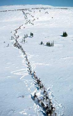 Alaska caribou migration