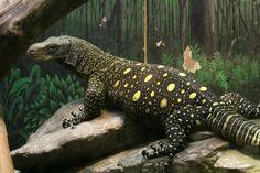 crocodile monitor | Crocodile Monitor Lizard photo - Charlie Doggett photos at pbase.com