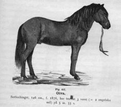 Oiva	   breed 	Trotter color 	Dark Chestnut sex 	stallion height 	152 cm ~ 15.0 hands date of birth 	  1876