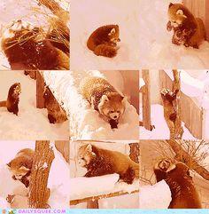 My favorite Red Panda gifs! Enjoy... - Imgur
