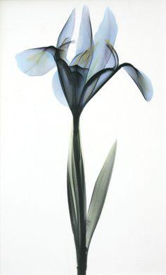 Iris B77 Color