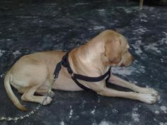 Make a dog harness in a couple of hours! Your dog can use it for walks, bicycle exercise, or pulling things.