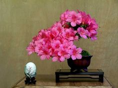 Beautiful Pink Azalea Bonsai centerpiece.