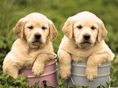The Labrador Retriever dog breed is considered one of the world's best pets. Learn about these loyal, playful dogs with Labrador dog images & facts on petMD. Labrador Retrievers, Golden Retrievers, Labrador Golden Retriever, Labrador Retriever Dog, Perro Labrador Golden, Raza Labrador, Labrador Puppies, Terrier Puppies, Corgi Puppies