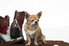 Chihuahua with a fabulous pair of cowboy boots.