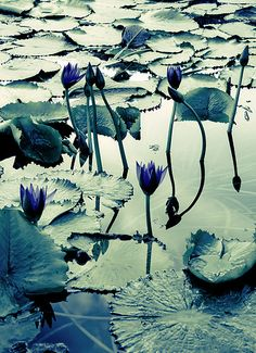 Dreamland — gardenofthefareast:   blue waterlily   koppdesign