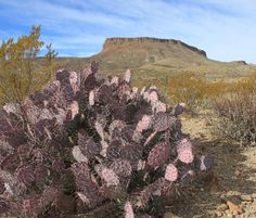 Prickly pear. No footprints, no people, no traffic. Big Bend Ranch State Park, Texas.  (photo by Lindy Severns)