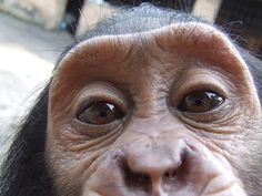 Bili Ape. :) Close in DNA to Eastern Chimps but with behavior similar to gorillas.