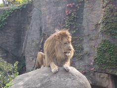 Lion Lincoln Park Zoo.   Chicago, Il