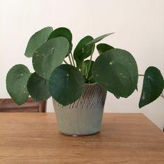 Pilea of pannekoekplant