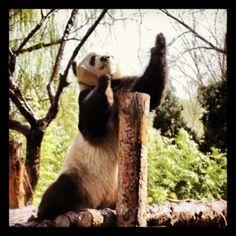 #panda #beijing #zoo #animals #kungfupanda Kung Fu Panda, Zoo Animals, Panda Bear, Beijing, China, Instagram, Pekin Chicken, Panda, Panda Bears