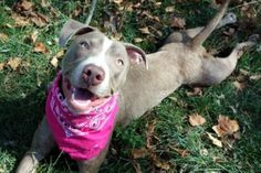 SAFE!!!!!!!   SASHA - A1082937 - Manhattan - Publicly Adoptable Please Share: TO BE DESTROYED 08/10/16 A volunteer writes: What time is it? It's belly rub o'clock–that's what time it is! So sweet and gentle, Miss Sasha was ready for a walk, taking care of her business the moment we were outside, and wagging her tail as we walked to the park. In the park, she lay down froggy style to better watch everything going on, and when I sat down next to her she