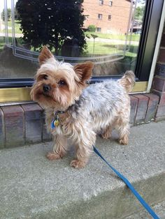 The traits we all love about the Feisty Yorkshire Terrier Dogs deutsch bilder Silky Terrier, Yorkshire Terrier Puppies, Terrier Dogs, Bull Terriers, Cute Dogs And Puppies, Pet Dogs, Doggies, Corgi Puppies, Weiner Dogs