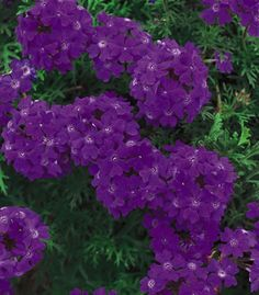 Verbena hybrid: This ground cover does well in a desert garden. The color is very intense.