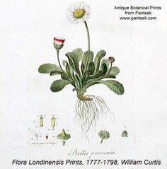 Flora Londinensis Prints, 1777-1798, William Curtis