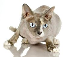 The Donskoy cat is also known as Russian Donskoy, the Don Sphynx , Don hairless and Russian hairless. These medium-sized, physical cats have little to wrinkled skin and no hair. Their legs are square-designed with lengthy, thin, webbed feet.