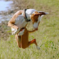 jumping podenco