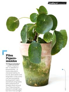 "Pilea Peperomioides - called ""elephant ear"" in Swedish, or parasollpilea - is a very easy plant, characterized by its round, dark leaves and long stalk. It has a very rich and somewhat bushy growth habit, and shoots long stalks with collections of smaller shots around. Your Pilea should be placed in a bright spot, but not in full sunlight."