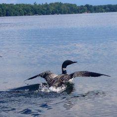 Loon taking flight!