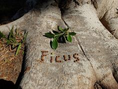 Ficus Spelled in its Small Brown Berries, Imperial Valley CA