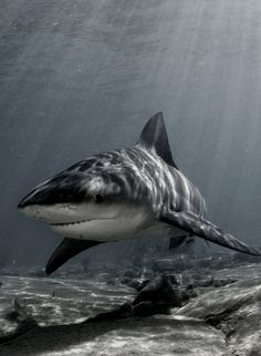 Shark pictures are a stunning way to learn more about these often feared, often misunderstood creatures of the deep. Check out these shark pictures. Shark Week, Orcas, Shark Pictures, Shark Photos, Shark Swimming, Great White Shark, Ocean Creatures, Sea World, Ocean Life