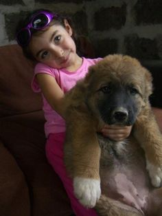 Armenian Gampr dog. Gamprs are known for their independence, mind, strong self-preservation instinct, trustworthy defense and protection of livestock, and friendliness to humans. (V)