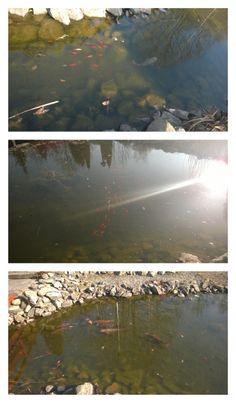 Wiosna pełną gębą!  Ptaki nam pięknie śpiewają, słońce przygrzewa, a w stawie leniwie pływają ryby - i te grube, i te mniejsze.  Wpadnijcie zobaczyć! ;)