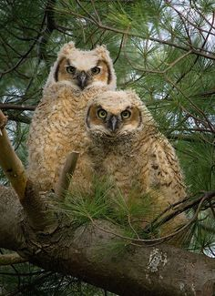 Great horned owlets huddling for security. Photo by A.J.Hand.