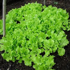 Black Seeded Simpson, an heirloom lettuce under our pole bean teepee in early spring.
