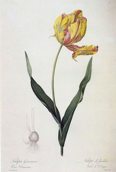 Pierre Joseph Redoute' - Belgian, 1759-1840, Parrot Tulip, Tulipa gesnerana L., 1816, Color-printed stipple engraving with hand coloring, by Langlois. From Les Liliacees