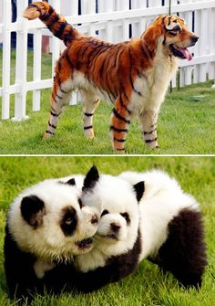 """A growing hobby in China: dying and trimming dogs' hair to look like different animals. If I ever get a dog I am SO doing This so I'll be like """"Yeah I actually have my own personal tiger"""" Animal Costumes, Pet Costumes, Dog Halloween Costumes, Animals And Pets, Funny Animals, Cute Animals, Strange Animals, Panda Dog, Pet Dogs"""