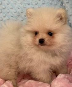 Petra ( $570 ) – ADORABLE PUPPIES FOR HOME Maltese Puppies For Sale, Dogs For Sale, Small Puppies, Dogs And Puppies, Pomeranian Puppy, Yorkie, Best Small Family Dogs, Adorable Puppies, Dog Park