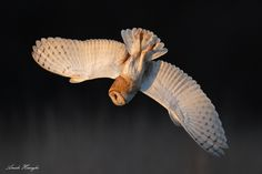 Diving Barn Owl by Ari Hazeghi on 500px