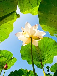 white lotus such color such light Trees To Plant, Plant Leaves, Lotus Flower Wallpaper, Lotus Flower Pictures, Pond Animals, Lotus Plant, Animal Doodles, Fruit Art, Exotic Plants