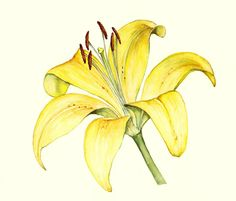botanical drawing of a lily - Google Search