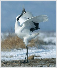 Red-crowned Crane love this pose too