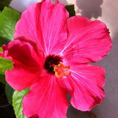 Hibiscus ... tropical flower that grows well in Florida