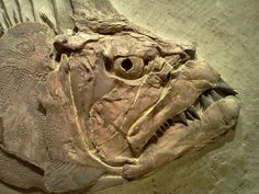 Xiphanctinus (Portheus) Molossus, once swam in the sea that covered much of present-day Kansas.