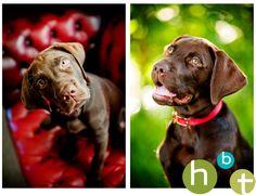 Stunning chocolate lab puppy!     Dogs   Pet Photography   Dog    Puppies   Photo Session Ideas     Pet Portraits   Labrador Retriever