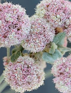 """Eriogonum latifolium or """"Seaside Buckwheat"""" Eriogonums are very popular with butterflies and bees. Specifically mentioned were Hairstreaks and Acmon blues, which use Buckwheat (especially E. nudum in my area), as a host plant."""