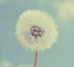 Image via We Heart It https://weheartit.com/entry/83591997/via/13802995 #beauty #flowers #nature #photography #dandellion
