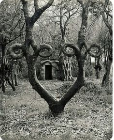 Arborsculpture, in 1947 Axel Erlandson opened the Tree Circus – The World's Strangest Trees, along the roadside in Santa Cruz, California. Today they have largely been moved to Bonfante Gardens in Gilroy, California. Arborsculpture at it's finest. Crooked Forest, Weird Trees, Photo Images, Bing Images, Unique Trees, Old Trees, Nature Tree, Tree Forest, Land Art