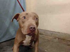 American Pit Bull Terrier Dog For Adoption in Camarillo, CA, USA