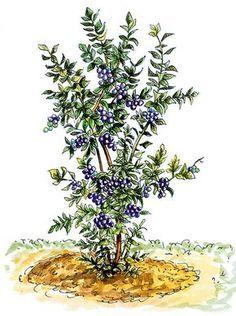 Pestovanie čučoriedok vzáhradkách 5 Gardening Tips, Nature, Plants, Image, Beautiful, Apollo, Anna, Ideas, Composters