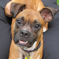 Hi my name is Nina! I'm looking for a forever home because my last family moved and couldn't take me with them. I'm a super sweet and energetic girl who really just wants to please. I love dogs big and small, and I am good around children too! I am crate trained and house trained, and I know some commands like sit and down. I love to play, and especially love running in the yard and chasing toys!! If you think I might be the right gal for you, please mention me, NINA, on your application!