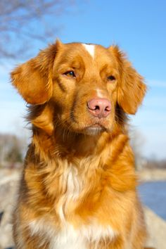 Todd - Nova Scotia Duck Tolling Retriever Looks like the first dog I'm the movie A DOGS PURPOSE.