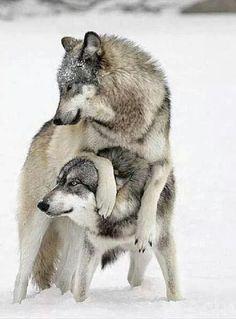 Wolves at play .
