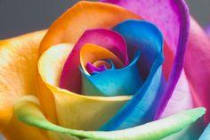 rainbow-rose260.jpg